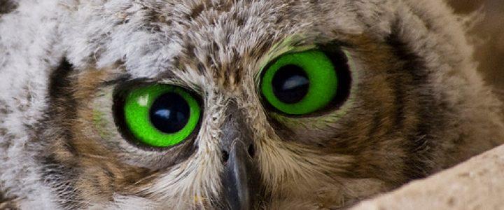 Green eyed owl